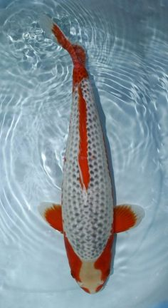 Koi On Pinterest