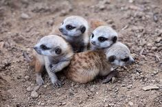 4 little meerkat pups huddle together at the San Diego Zoo.