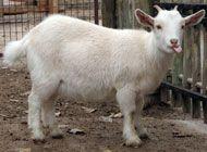 Nigerian Dwarf Livestock