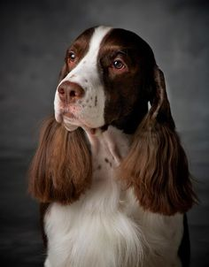 English Springer Spaniel ~ Classic Look & Trim Springer Spaniel Puppies, English Springer Spaniel, Cocker Spaniel, Black Lab Puppies, Dogs And Puppies, Corgi Puppies, Doggies, Beautiful Dogs, Animals Beautiful