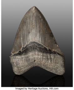 Megalodon Shark Tooth. Carcharocles megalodon. Miocene. Morgan River. South Carolina