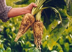 PREBIOTIC FOODS REQUIRED TO ACHIEVE A DAILY SERVING OF PREBIOTIC FIBER  Raw Chicory root: 9.3g (about 1/3 oz) Raw Jerusalem artichoke: 19g (3/4 oz) Raw Dandelion greens: 24.7g (Just under 1 oz.) Raw Garlic: 34.3g (1.2 oz – make sure you have some mouthwash handy!) Raw Leek: 51.3 g (1.8 oz) Raw Onion: 69.8g (2.5oz) Cooked Onion: 120g (1/4 pound) Raw Asparagus: 120g (1/4 pound) Raw Wheat bran: 120g (1/4 pound) Wheat flour, baked: 125g (1/4 pound) Raw Banana: 600g (1.3 pounds)