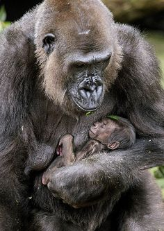 A Western Lowland Gorilla born at Taronga Zoo,Sydney,Australia to mother Frala and Silverback Kibali,is the second born at Taronga in the last seven months. Keepers are yet to determine the sex of the baby Gorilla.Photograph and Copyright Rick Primates, Cute Baby Animals, Animals And Pets, Funny Animals, Wild Animals, Beautiful Creatures, Animals Beautiful, Baby Gorillas, Tier Fotos