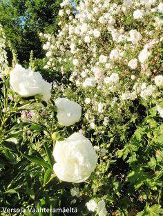 Versoja Vaahteramäeltä: pionit White Flowers, Garden, Garten, Gardens, Tuin, Yard