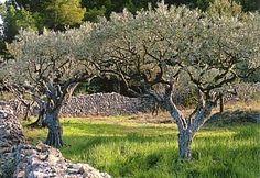 Oliveraie dans le Lubéron - Olive Grove in the Lubéron... Provence, France.