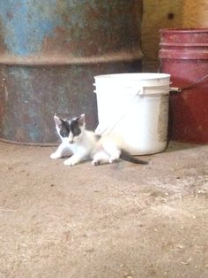 And another barn kitten