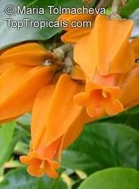 Juanulloa aurantiaca - Gold Finger plant  - unusual looking vine or shrub with yellow-orange fleshy flowers, everblooming and a fast growing. Very rare, collectible plant.