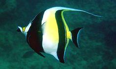 El vistoso pez mariposa