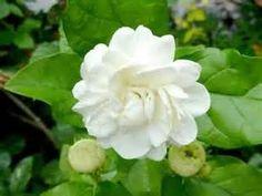 Jasmine in Love Story, Luna, Pima Cotton,Tiare Maohi, White Jasmine & Vetiver,