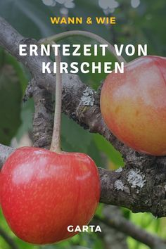 Wann sind die Kirschen reif zur Ernte? Wann sind die Kirschwochen? Wie pflücke ich Kirschen richtig? #kirschen #pflücken #erntezeit #ernten #rotekirschen #kirschbaum #garten #garta #kirsche #kirschwochen Plum, Apple, Fruit, Food, Cypress Trees, Cherry Tree, Harvest Season, Organic Gardening, Plants