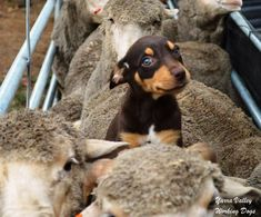 Cute Puppies, Cute Dogs, Dogs And Puppies, Doggies, Horses And Dogs, Australian Cattle Dog, Working Dogs, Family Dogs, Animal Memes