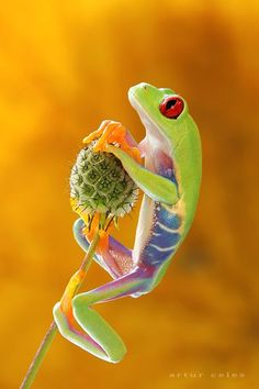Cute Little Critter ~ Red-eyed tree frog by Artur Celes via Pixdaus Beautiful Creatures, Animals Beautiful, Cute Animals, Colorful Animals, Small Animals, Beautiful Things, Funny Animals, Frosch Illustration, Red Eyed Tree Frog