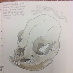 This is a drawing of a dog skull for my Central Florida Natural History book.
