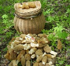 A must-read article for all morel hunters, especially those in the Hudson Valley. Want to find morels? Look for limestone, dead elm trees, and skunk cabbage.