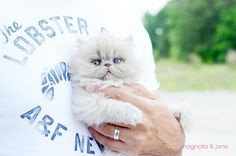 Jane - Our Lilac Persian kitten. Where can I get oneeee?!