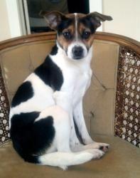 Beagle rat terrier mix temperament