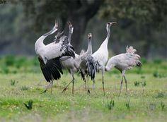 Bird photography, fixed Hide, Moheda Alta, Extremadura, impressing behaviour of Cranes
