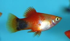 Red Top Varitus Mickey Mouse Platy.