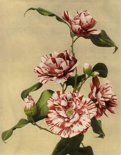 Camellia (colored photo), ca. 1890 by Ogawa Kazumasa