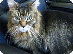 Richmond Hill, ON - Domestic Mediumhair. Meet Forrest a Cat for Adoption.
