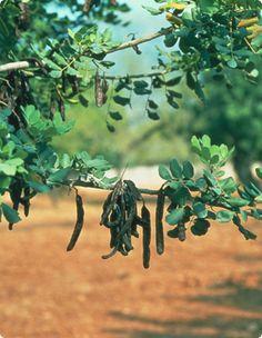 Locust bean gum | Cost-effective & simple stabilizer of food /Carob gum/ Algarrobo