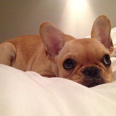 Big Frenchie Eyes #adorable #dogs