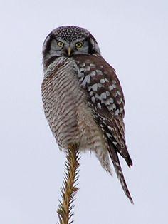 Owl - Northern Hawk Raptor Bird Of Prey, Birds Of Prey, Raptors, North America, Owl, Animals, Barn Owls, Animaux, Owls
