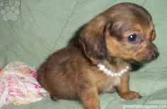 Princess, the chiweenie puppy loves her jewelry!