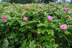 kurtturuusu - Rosa rugosa Herbs, Plants, Herb, Plant, Planets, Medicinal Plants