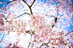 Weeping Cherry Tree - Wall Mural & Photo Wallpaper - Photowall
