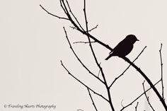 Black and White Bird and Tree Silhouette - 12 x 8 Fine Art Photographic Print. $35.00, via Etsy.