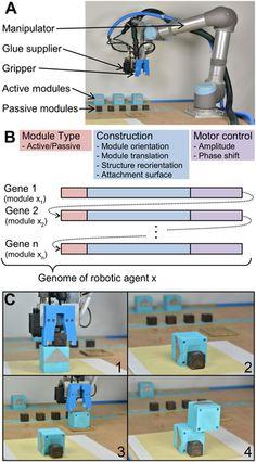 Morphological Evolution of Physical Robots through Model-Free Phenotype Development: Fig 1.  Developmental process.