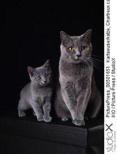 KIO/PicturePress/StudioX Chartreux chats, chaton, mère enfant