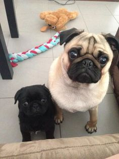 Big pug, little pug... looking at your dinner.