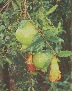 delima (pomegrade)