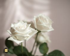 #roses #love #whiteroses #photography White Roses, Flowers, Plants, Photography, Beautiful, Photograph, Photography Business, Flora, Photoshoot