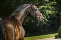 Haras de Hus - HUSBAND OF HUS - French Saddle Bred