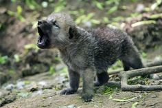 Aww!! Baby Wolf Howling!