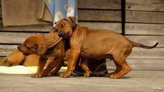 Not my ridge Bro! Big Dogs, I Love Dogs, Boxer Mix Puppies, Rhodesian Ridgeback Puppies, Big Dog Breeds, Lion Dog, Puppys, Beautiful Dogs, Rottweiler
