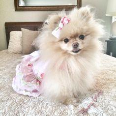 Search Pommy Girls on Facebook! Sophie- pomeranian, dog, dog clothes, cream pomeranian, pom, puppy, fluffy, fashion