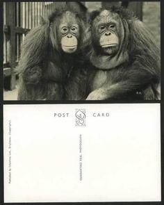 ORANGUTAN-Orang-Utang-ZOO-ANIMALS-Old-Real-Photo-Postcard