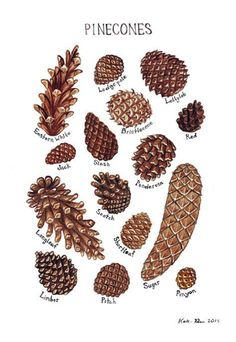 Pine Cones Field Guide Chart (watercolor) Kate Dolamore . https://www.etsy.com/listing/163043432/pine-cones-field-guide-chart-watercolor?ref=shop_home_active