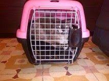 RED - Urgencias Gatos: BCN. GATITA SIAMESA CAREY ABANDONADA EN UN TRANSPORTÍN, ALGUIEN LA RECONOCE????