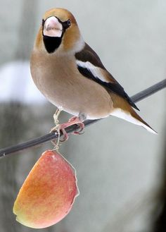 Hawk Finch