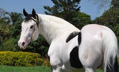 Tovero | Raça: PAINT HORSE