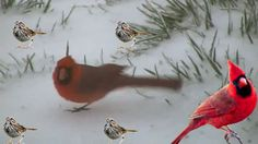 Cardinals,Junkos and Sparrows In My Front Yard!