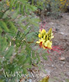 I have two of these in my backyard. They smell soooo good and are soooo pretty. Wild Rose Vintage~Mexican Bird of Paradise