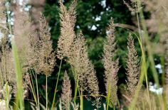 See how RHS can give expert advice on growing, feeding, pruning and propagating plants. Find specific plants with our Plant Finder & Plant Selector. Perennial Grasses, Herbaceous Perennials, Ornamental Grasses, Edible Grass, Japanese Barberry, Feather Reed Grass, Stipa, Prairie Garden, Rock Garden Plants
