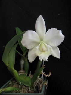 beautiful Catteleya orchid