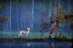 Wolf Finland